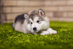 One malamute little puppy lying on the green grass. Against the brick wall background. Small miracle. Selective focus, toned image. Horizontal royalty free stock photos