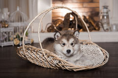 One malamute puppy lying in the wicker basket. Against the firework background. Small miracle. Selective focus, toned image. Horizontal Stock Photo