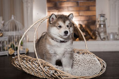One malamute puppy standing the wicker basket Stock Image