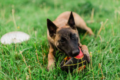 One Male Belgian Malinois playing in grassy park. With ball and frisbee nearby Stock Images