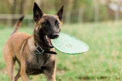 One Male Belgian Malinois playing in grassy park. With frisbee Stock Photos