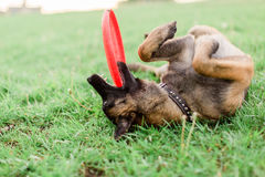 One Male Belgian Malinois playing in grassy park. Playing in grass with red frisbee Royalty Free Stock Photography