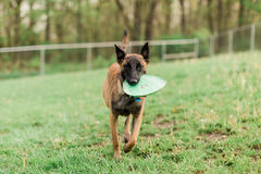 One Male Belgian Malinois playing in grassy park. Running with frisbee Royalty Free Stock Photo