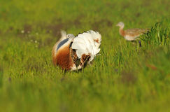 One male Bustard among cereals Royalty Free Stock Images