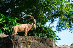 One male goat animal with big horns Stock Image