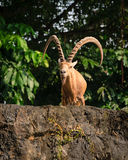 One male goat animal with big horns Royalty Free Stock Photos