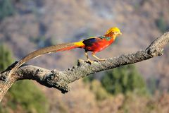 Golden Pheasant. One male golden Pheasant stands on tree trunk. Scientific name: Chrysolophus pictus Stock Photos