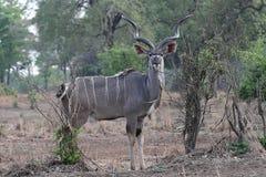 Male Greater Kudu, Tragelaphus strepsiceros, in South Luangwa, Zambia. One Male Greater Kudu, Tragelaphus strepsiceros, in South Luangwa, Zambia Stock Photo