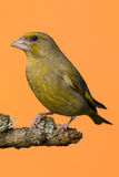 One male Greenfinch bird perched on branch Stock Photography