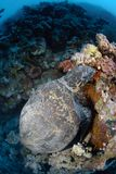 One Male hawksbill turtle Stock Photography