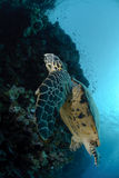 One Male hawksbill turtle. Swimming by coral reef. Red Sea, Egypt Royalty Free Stock Photo