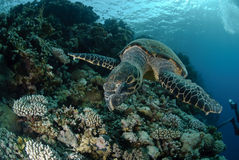 One Male hawksbill turtle. Swimming by coral reef. Red Sea, Egypt Stock Photo