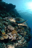 One Male hawksbill turtle. Swimming by coral reef. Red Sea, Egypt Royalty Free Stock Photography