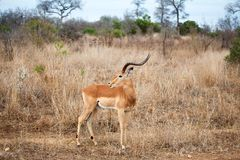 One male impala antelope on yellow grass, green trees and blue sky background close up in Kruger National Park, South Africa royalty free stock photo