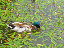 One male mallard duck looking for food in the lake. Covered with fallen leaves Royalty Free Stock Photography