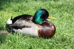One Male Mallard Easy Way Of Living. One male wild duck relaxation and sunbathing  on green grass during springtime in Europe. freedom and easy way of life Royalty Free Stock Image