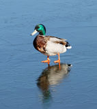 One male mallards on ice Stock Photo
