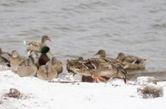 Female mallard in the snow. One male and many female mallards in the snow close to the lake Royalty Free Stock Image
