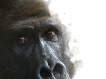 One male mountain gorilla observes the camera Royalty Free Stock Photos
