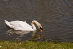 Male Mute Swan Swimming in a Manmade Lake. One male mute swan is looking for food while swimming around in a lake in Myrtle Beach South Carolina Stock Images