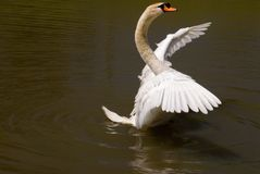 One Male Mute Swan Flapping Wings while Swimming. One male mute swan standing up in the water flapping his wings. This image was shot in Myrtle Beach South Royalty Free Stock Images