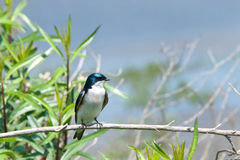 One male Tree Swallow perched on branch looking sideways. One male tree swallow, Tachycineta bicolor. perched on a branch, bushes and blue sky in background Royalty Free Stock Images