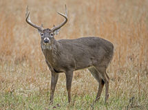 One male White Tailed Deer in an open field. One large antlered buck in Cades Cove Royalty Free Stock Images