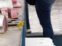 Male Yellow Warbler, Dendroica petechia, looking for food on a fish market in Santa Cruz, in the background tuna meat. Galapagos I. One Male Yellow Warbler Royalty Free Stock Image