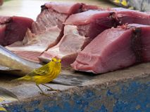 Male Yellow Warbler, Dendroica petechia, looking for food on a fish market in Santa Cruz, in the background tuna meat. Galapagos I. One Male Yellow Warbler Stock Photography