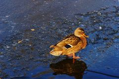 One beautiful mallard duck stands on the ice next to the water. One Mallard duck standing on the ice near the water`s icy blue surface Royalty Free Stock Photos
