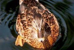 One mallard duck in the water. Portrait of a mallard duck in the water Stock Photos