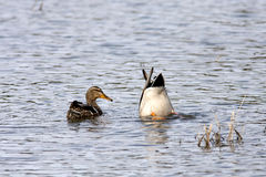 Two mallards in water. One mallard searches for food under water while the other watches Royalty Free Stock Image