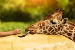 One man feeds giraffe from his hand. Giraffe sticked out tongue. Close up head shot of a kordofan giraffe giraffa camelopardalis antiquorum being hand fed by a royalty free stock photo