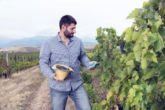 One Man Vineyard Collect Grapes. Selective focus stock images
