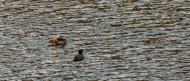 One mandarin duck and one American Coot Stock Image