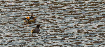 One mandarin duck and one American Coot Stock Photography