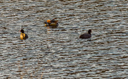 One mandarin duck swimming together with two American Coot Royalty Free Stock Photo