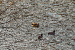 One mandarin duck and two American Coot Royalty Free Stock Photography