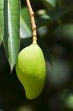 One mango Royalty Free Stock Photo