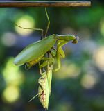 One mantis keeps a hanging other insect from a branch stock photo