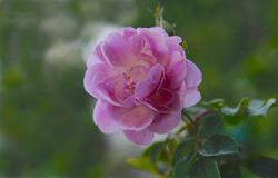 One of Many Beautiful Pink Roses Royalty Free Stock Image