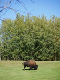 A mid-size Bison free-roaming in the Park Royalty Free Stock Photography