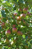 Gala apples tree. One of the many different variety of this family of red apples Royalty Free Stock Image
