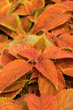 One of the many varieties of healthy Coleus plant. Gardeners naturally lean towards the many choices of healthy,lush leaves in any variety of the Coleus plant royalty free stock image