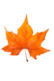 One maple leaf Stock Photo