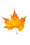 One maple leaf Stock Images