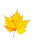 One maple leaf Royalty Free Stock Photo