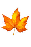 One maple leaf Royalty Free Stock Images