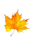One maple leaf Royalty Free Stock Photography