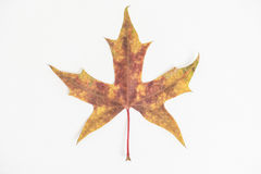 One maple leaf on the white background. Photoed in the studio Stock Photos